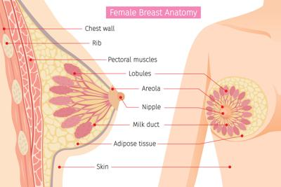 Learning breast anatomy is important for health