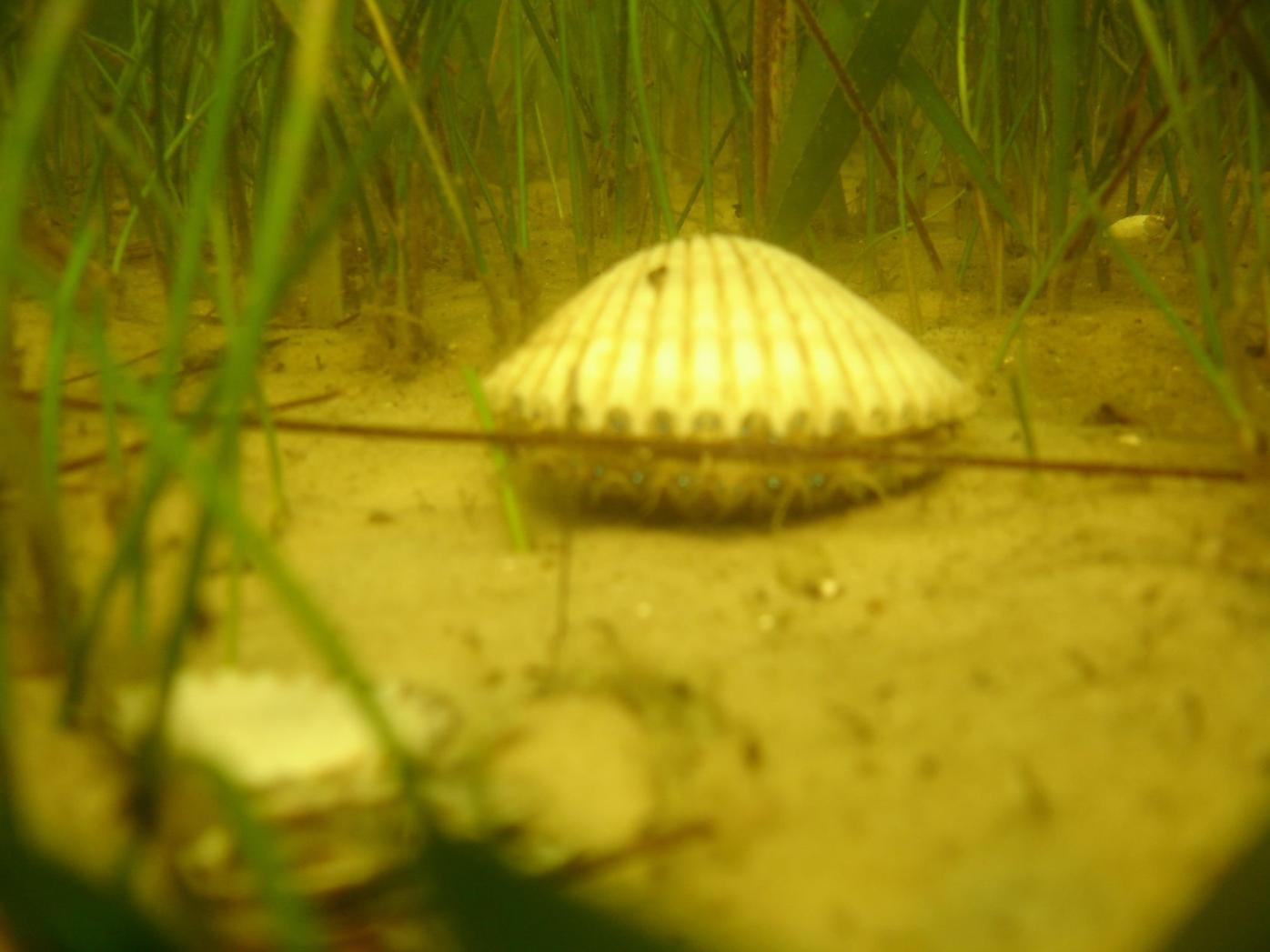 Bay scallop underwater