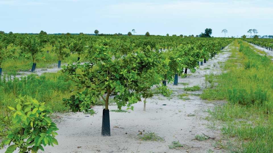 Paul Citrus grove making comeback after hurricane