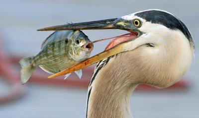 heron pinfish