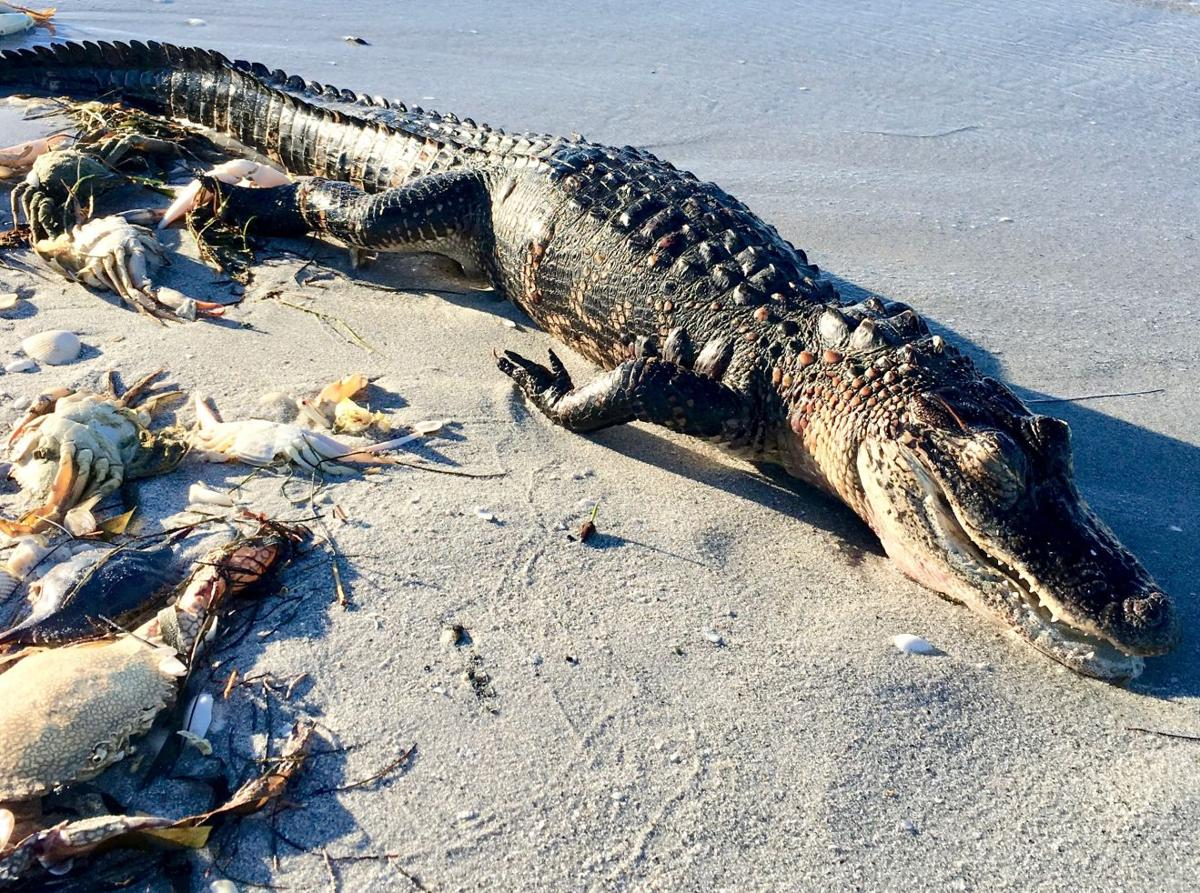 c2ca3950dc8aa5 Alligator may be red tide's latest victim | News | yoursun.com