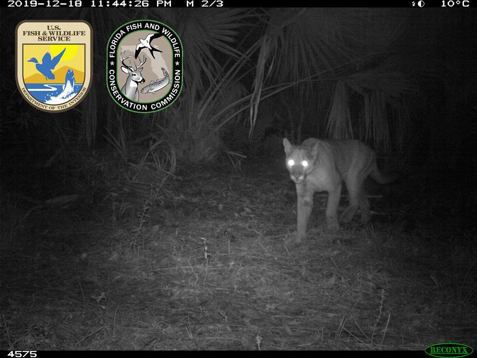 Panther in Charlotte County