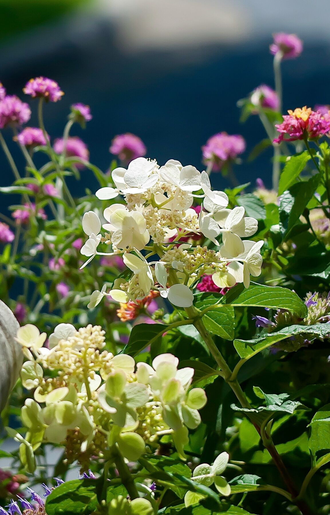 Container with Quick Fire hydrangea
