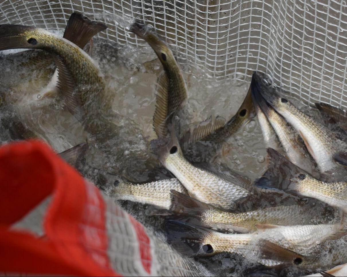 Juvenile redfish prior to release