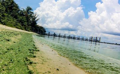 cyanobacteria