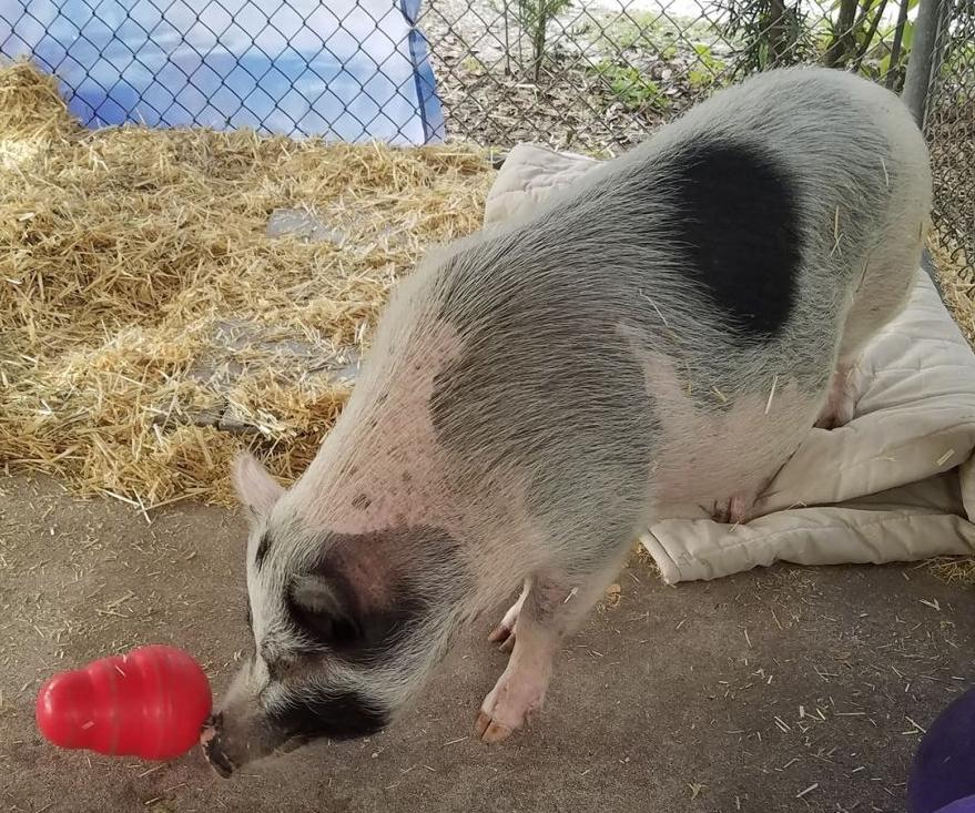 Louie the Pig