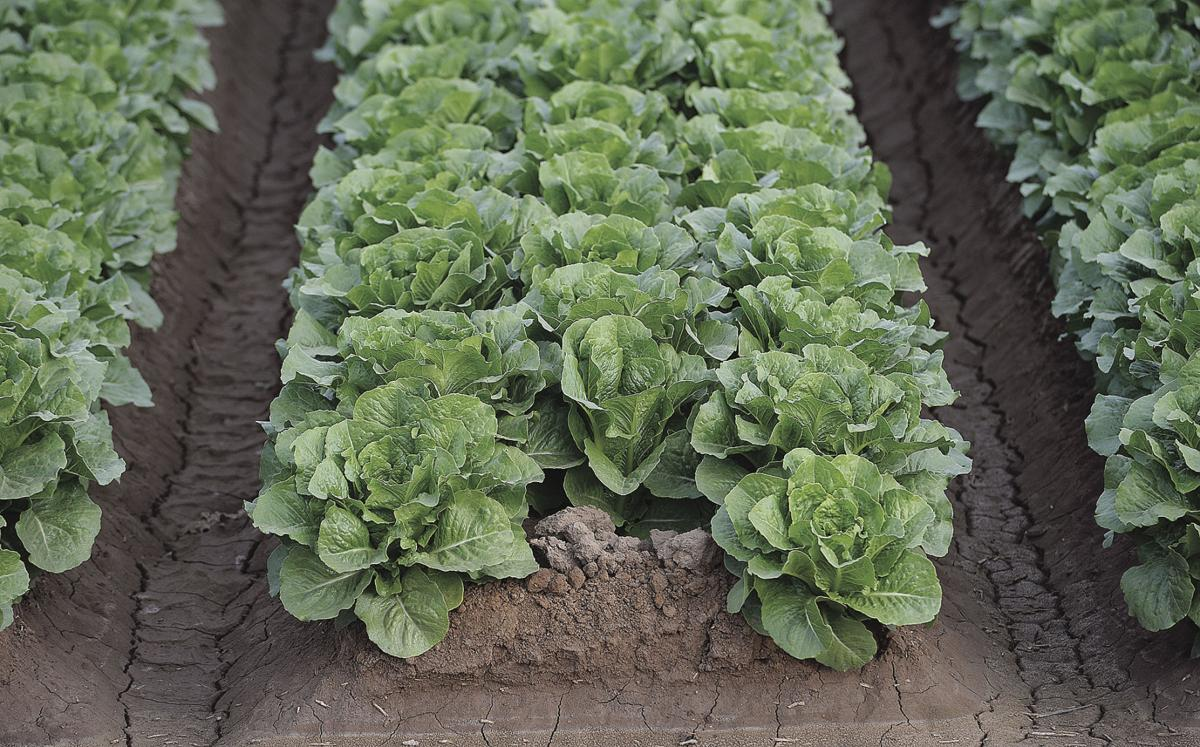 Lettuce E. coli